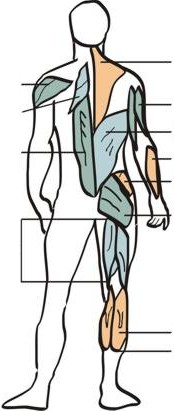 Muscle Diagram 2: Back View